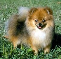 Pomeranian. I adore their bright, alert little faces.