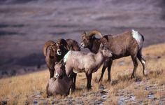 big horn sheep yellowstone