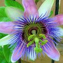 passion flower-one of my favorites to plant eevery year