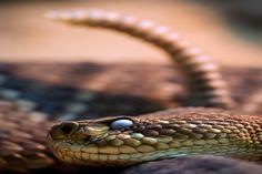 Rattlesnake Pictures - PublicDomainBox.com :http://www.publicdomainbox.com/rattlesnake-pictures-publicdomainbox-com/