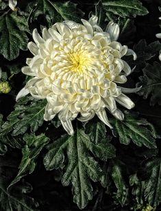 chrysanthème   romaneau   Flickr Ботаника, Фотография Цветов, Фотографии Природы, Наброски, Азиатское Искусство, Пионы, Хризантемы, Тупица, Свадьба