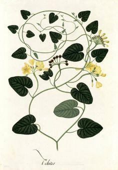 Echites. Proyecto de digitalización de los dibujos de la Real Expedición Botánica del Nuevo Reino de Granada (1783-1816), dirigida por José Celestino Mutis: www.rjb.csic.es/icones/mutis. Real Jardín Botánico-CSIC.