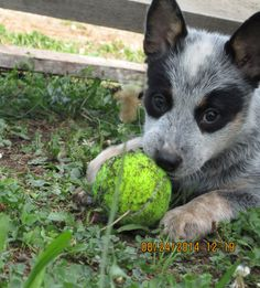 A cattle dogs rule puppy! Blue heelers are the best.