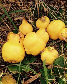 Very small harvest of quince this year maybe just enough for membrillo @urbanpantry