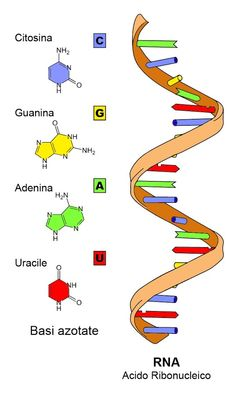 Ribonucleic acid (RNA) is a polymeric molecule implicated in various biological roles in coding, decoding, regulation, and expression of genes. RNA and DNA are nucleic acids, and, along with proteins and carbohydrates, constitute the three major macromolecules essential for all known forms of life.