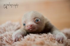 """primatography: """" Sloth love! Yet another baby two toed sloth came to the rescue center a week ago. In wildlife rescue, sometimes you win and sometimes you lose. Right now this little guy is winning..."""
