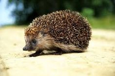 Image result for images of hedgehogs