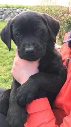 8 week old black lab puppy
