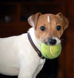 My ball.  Oh, that's my ball. Jack Russells! The perfect doggie, lol!