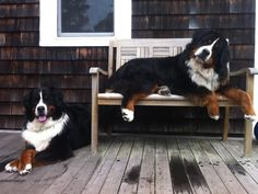 Both very typical and endearing poses of Bernese Mountain Dogs