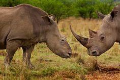 Brent Stirton capture pour le National Geographic ce cliché d'une femelle rhinocéros ayant subi une attaque violente à la tronçonneuse par des braconneurs. Résultat : sa corne et une partie de son crâne en moins, et cette photo accusatrice prise dans la réserve de Tugela en Afrique du Sud quatre mois après l'évènement.