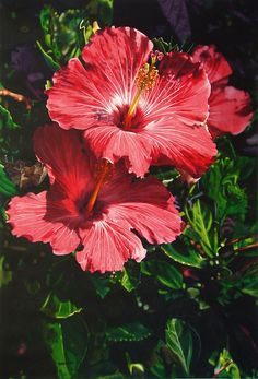 hibiscus-paintings unbelievable watercolor realism by Kansas artist Marlin Rotach.