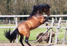 Don Enamorado - Stallion Directory