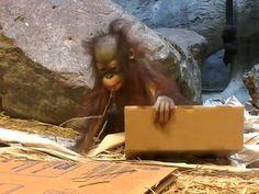 Sweet Baby Orangutan Playing and Exploring Her Enclosure She has moved on to examining and playing with cardboard the adorable little fuzz ball. Baby Opossum, Baby Koala, Baby Gorillas, Baby Orangutan, Blank Park Zoo, Omaha Zoo, Kansas City Zoo, Como Zoo, Cheyenne Mountain Zoo