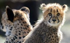 Cheetah cub and mother at Olomouc Zoo, Czech Republic