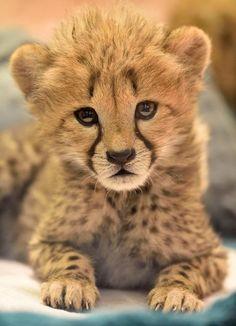 Can you handle the cheetah cub cuteness? Photo: Debbie Beals