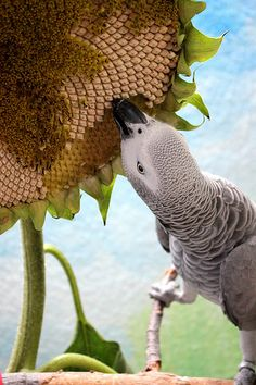 I love  African  grey  Parrot . ..it's  just like my sweet  Walter  .