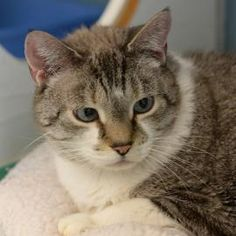 Petango.com – Meet Kiara, a 10 years 1 month Domestic Shorthair / Mix available for adoption in DENVER, CO