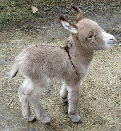 fuzzy baby burro