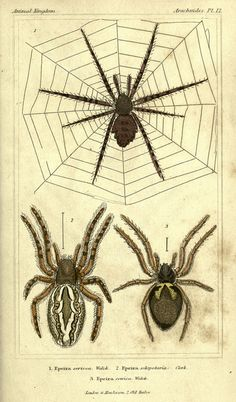 Lots of wonderful vintage illustrations of spiders.