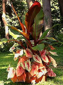 Red banana with caladiums