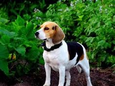 images for beagle cute