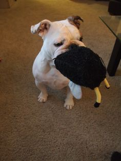 Buff pup.