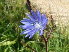 Chicory: 11 healthy effects! Light Blue Flowers, Lettuce Leaves, Perennials, Healthy, Plants, Mai, Therapy, Diet, Plant