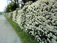 Fiori Bianchi Da Siepe.21 Best Plantas Muro Pirque Arbustos Altos Images Plants Garden