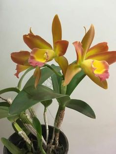 Cattleya Iwanagara Apple Blossom