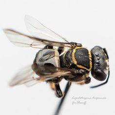 #Lepidotrigonadoipaensis #kelulut #bee #bees #honey #meliponine #meliponines #meliponini #meliponina #trigona #nature #stinglessbees #stingless #lebahkelulut #hymenoptera #apidae #insect #insects #polinators   by Geeshariff