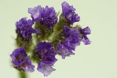 """Types of Flowers Caspia: Caspia is also known as: Statice, Sea Lavender or Limonium. It's name originates from the Greek word for """"mea. Lavender Centerpieces, Wedding Centerpieces, Wedding Bouquets, Wedding Decorations, Wedding Ideas, Blue Wedding Flowers, Purple Wedding, Purple Flowers, May Flowers"""