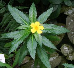 The Magic of Damiana. Great pros and CONS.