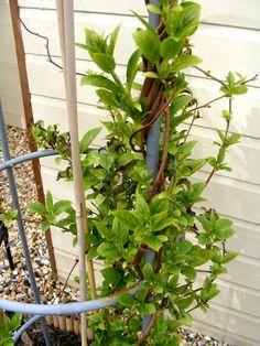 Miniature kiwi vine