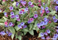 Lungwort. A shade loving plant that will thrive under trees.