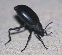 Coleoptera: Tenebrionidae: stink beetle (Kara böcekgiller)