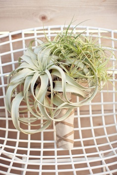 airplant #bouquet #simple