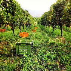 V per Vendemmia - La vera Italia che conta in una bottiglia di vino