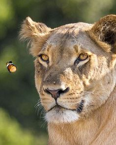 Mesmerising: A lionness locks eyes on a butterfly floating peacefully around her head in Chobe National Park in Botswana