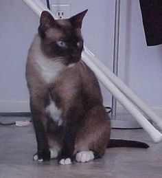 The Snowshoe cat has large ears, with a triangular head that usually has   black markings. Their eyes are blue. The coat of the Snowshoe cat is   short-haired and is white and gray. Their tail is medium-sized. There are   several varieties of Snowshoe cats, such as Blue-point, Fawn-point,   Chocolate-point and Seal-point.  A skinny version if Socrates!