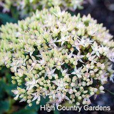 Sedum Thundercloud | Sedum Thundercloud | Low Water Plants, Eco Friendly Landscapes | High Country Gardens