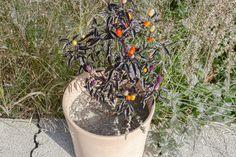 Chili pflanzen - im Garten oder auf dem Balkon. Chilis sind einfache Pflanzen, die man in der Gartenerde, im Gewächshaus, Hochbeet oder in Blumentöpfen anbauen kann. Sie sind so hübsch, dass sie immer zur Deko dienen. Hier erfährt ihr, wie ihr die Chilis pflanzt, ob sie winterhart sind und wie ihr eine besonders scharfe Chilischote erntet #chili #biogemüse #gemüseanbauen #gemüsegarten Health Shop, Agave Nectar, Coconut Yogurt, Natural Sugar, Balsamic Vinegar, Back Gardens, Fruit Smoothies, Vegan Recipes Easy