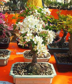 www.anconaflowershow.com Flower Show, Bonsai, Table Decorations, Flowers, Furniture, Home Decor, Homemade Home Decor, Bonsai Trees, Florals