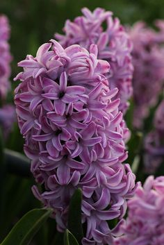 Hyacinths could be my favorite flower!!