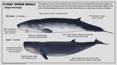 Pygmy sperm whale by namu-the-orca on DeviantArt