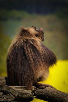 Gelada monkey. Dželada v ZOO Lešná