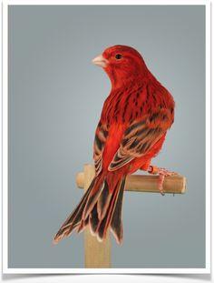 67 Ideas De Canarios Canarios Aves Pajaros