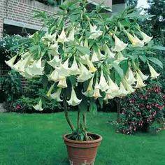 Bunga yang sangat mengagumkan, harum dan eksotis dengan bunga yang seperti terompet dan berukuran 7 inci ( 1 inci =2.5 cm). s Angel's Trumpet White adalah tanaman yang menyenangkan, indah dan mudah tumbuh. Memiliki aroma yang mengggoda yang tercium paling harum di sore hari. akan tumbuh 3 sampai 5 kaki ( 1 kaki = 30 cm) 'dan hampir tidak memerlukan perawatan atau pemeliharaan khusus.  Germinasi : 7 - 40 hari