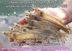 Chinese shrimp production estimated down in total imports up China's shrimp farmers failed to shrug off disease outbreaks early… Shrimp Farming, Fish Farming, Get Taller, Blue Delphinium, Garden Tools, Meat, Hydroponics, Farmers