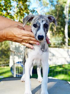 Starline Whippets - Show Dogs, Breeding, Puppies,Sales, Rancho Santa Fe, California